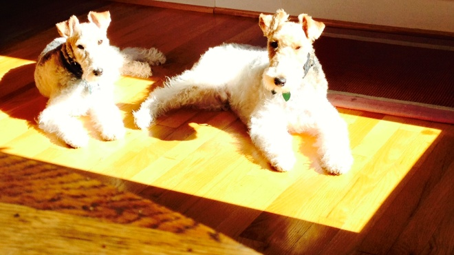 Terriers in a pool of light